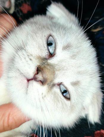 Шотландские котята Линкс-поинт скоттиш фолд