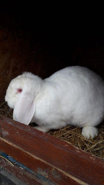 Króliki króle - Samica baran francuski biała