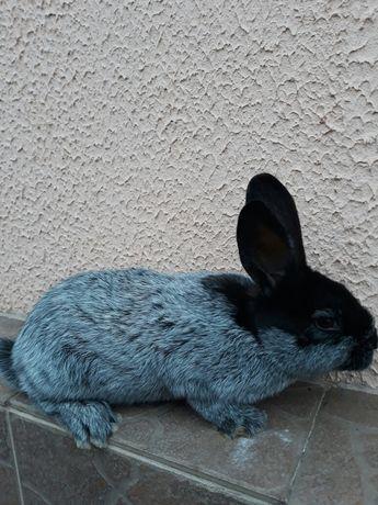 Кролики Полтавское серебро самцы и самочки от 1.5 мес. до 3.5 мес.