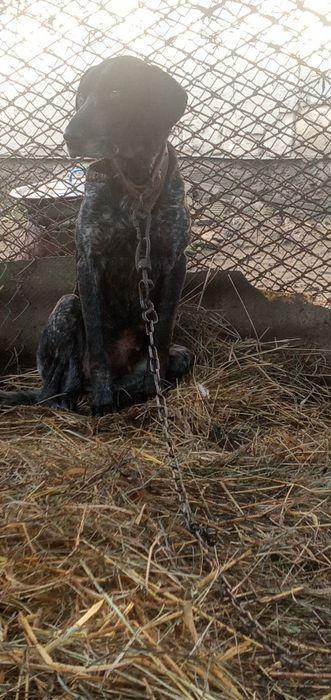 Віддам у добрі руки собаку породи Курцхар Букачевцы - изображение 1