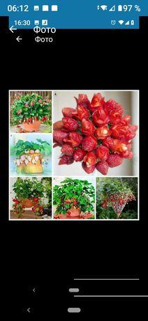Семена клубничного дерева