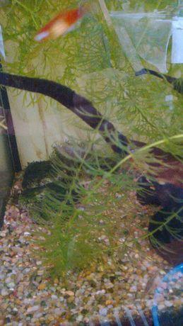 Foxtail (planta para aquário de água quente)