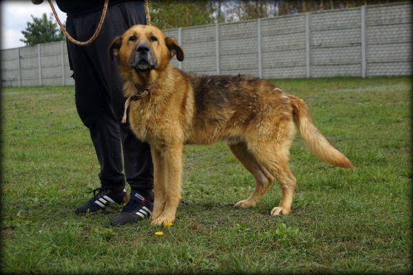 Maniek - duży, miły pies szuka nowego domku :)