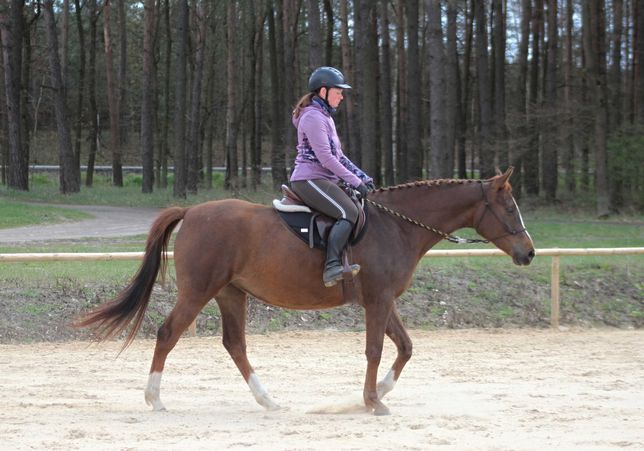 4-letnia klacz czystej krwi arabskiej arabska koń spokojna i mocna