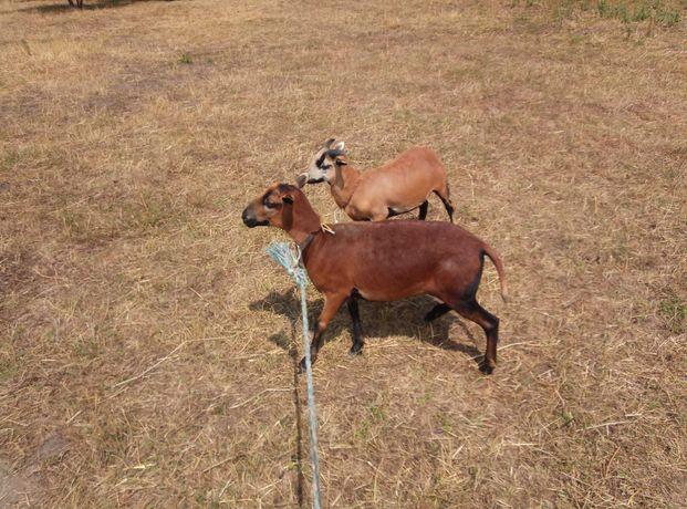 Owca Kameruńska Duża