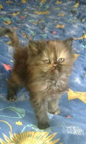 Sprzedam kotki perskie.