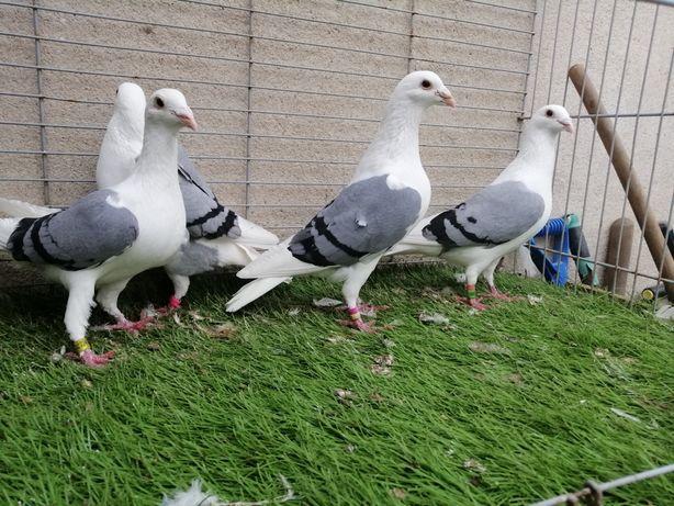 Gołębie. Śląskie tarczowe niebieskie. Pocztowe tarczowe