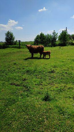 Krowy szkockie highland cattle