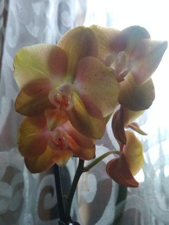 Орхидея Лас Вегас