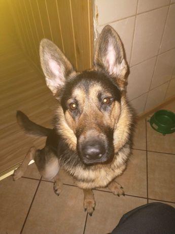 Pies,15 miesięcy suczka