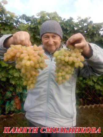 Зеленые( вегетирующие) саженцы винограда