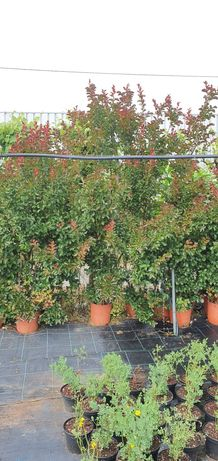Plantas Lagerstroemia indica red