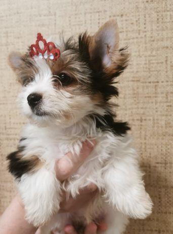 Biewer Yorkshire Terrier, york, piesek