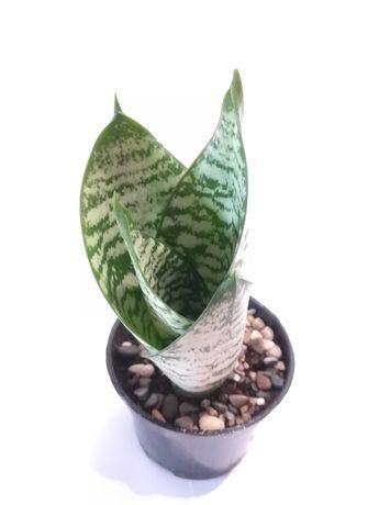 Sansewieria gwinejska 'Green Hahnii'