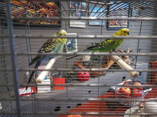 Do sprzedanie papugi faliste