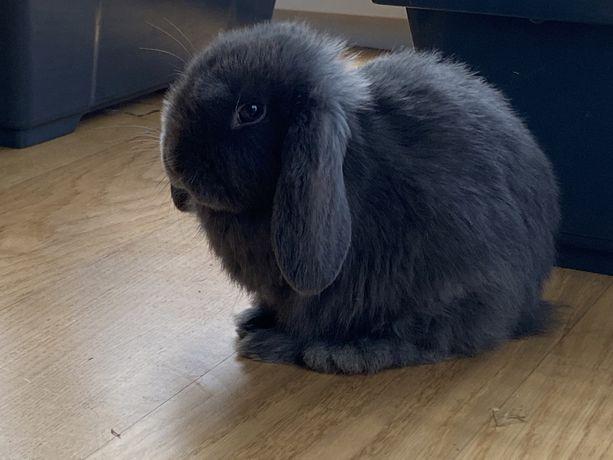 Królik króliczki króliczek Mini Lop Miniaturka Niebieski