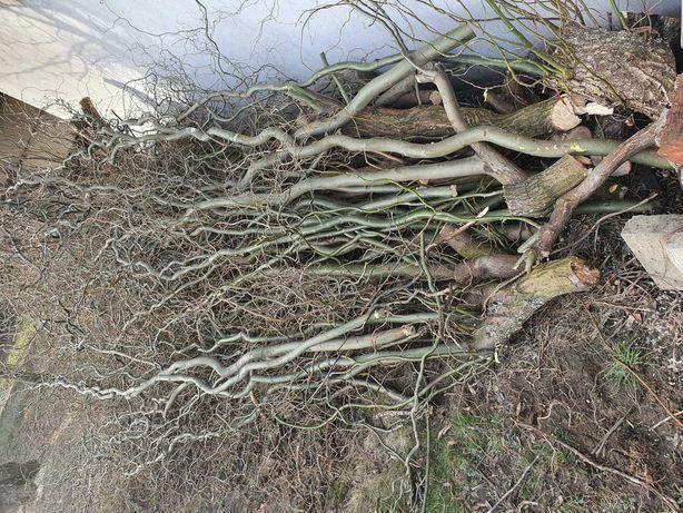 Oddam za darmo gałęzie Wierzby mandżurskiej