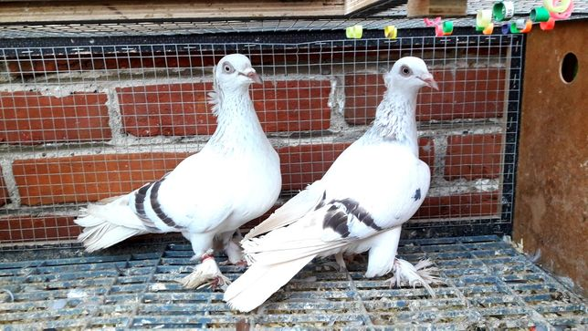 Gołębie z lotu. Żałobne perłowe koroniate kosmate. Para nr2
