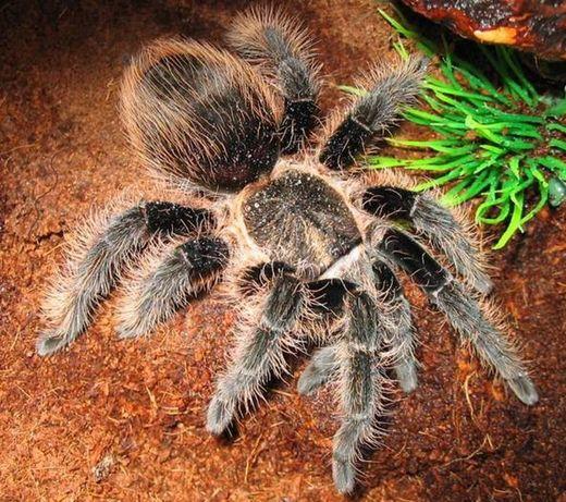 Brachypelma albopilosum пауки птицееды малыши для новичка