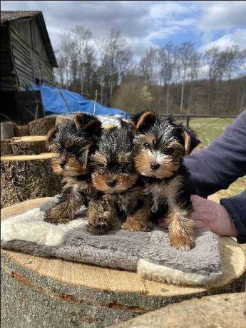 Sprzedam szczeniaki Yorkshire Terrier