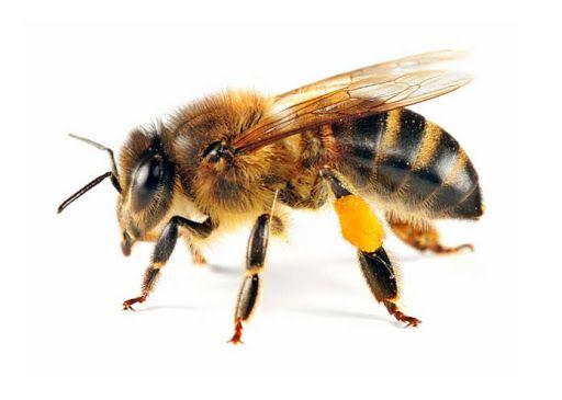 Пчёлы, пчелопакети