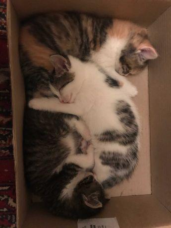 Котята, бесплатно, доставка. 1 кот и 2 кошки.