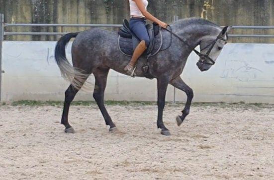 Cavalo com 5 anos, montado e engatado muito manso