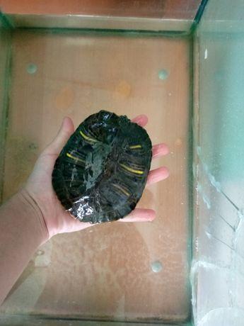 Черепаха,черепашка з акваріумом