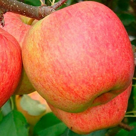 Саженцы Яблони и Малины