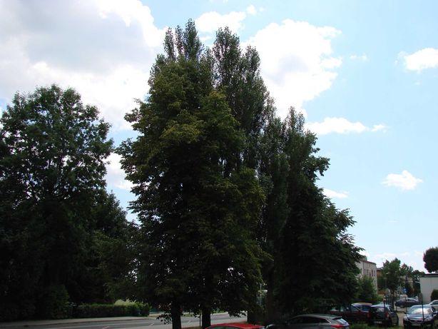 Sosna topola drzewa na pniu