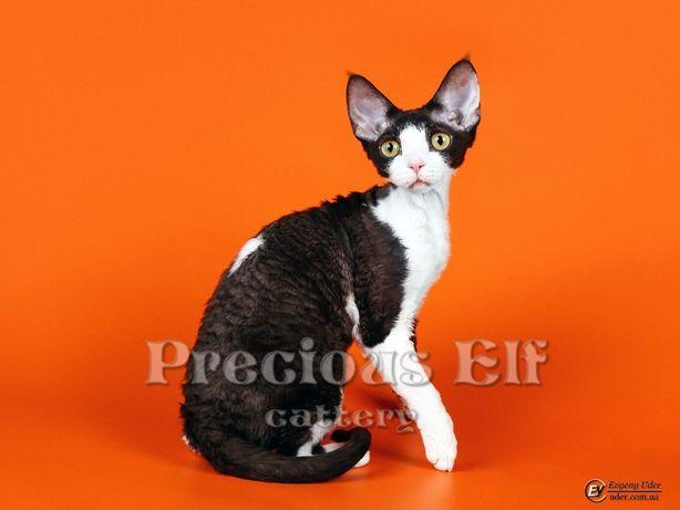Кошечка Девон Рекс, возраст 4 года