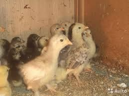 цыплята мясо яичных пород