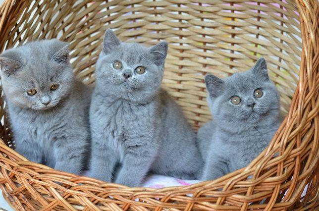 Британские котята питомник