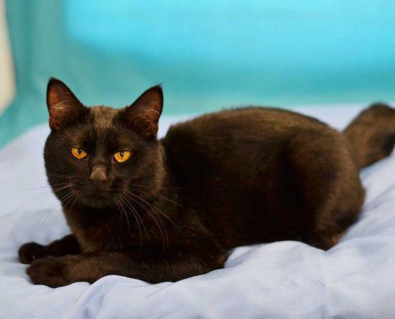 Черный кот-красавец Янтарь ищет семью (7 мес.)