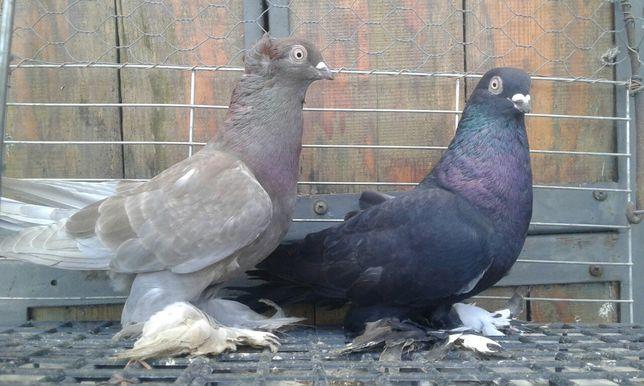 Wywrot wywrotki wywrotek para 2020 rok ptaki gołębie ozdobne