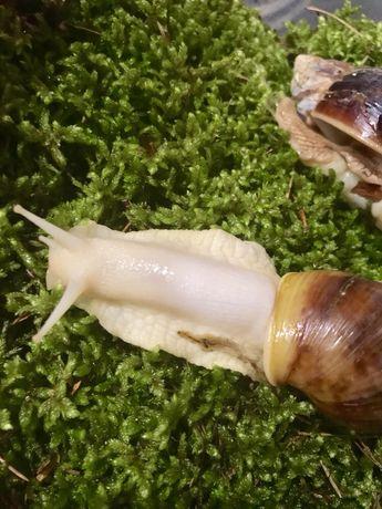 Живой лесной мох для улиток Ахатин также продаже есть зеленине шишки с