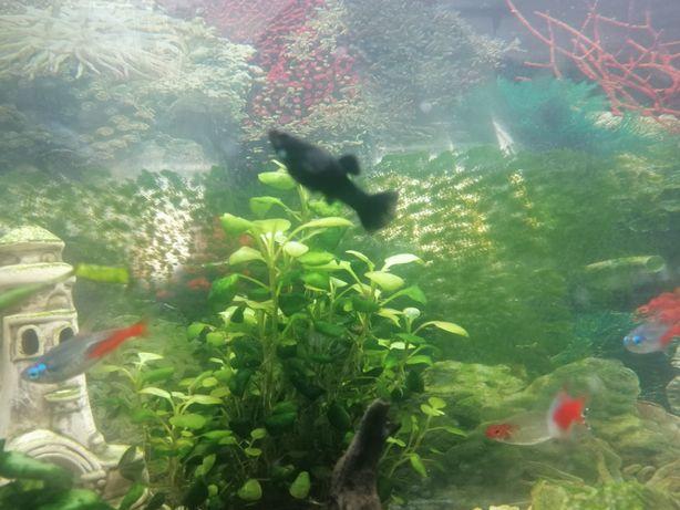 Molinezje Black Molly czarna rybki do akwarium