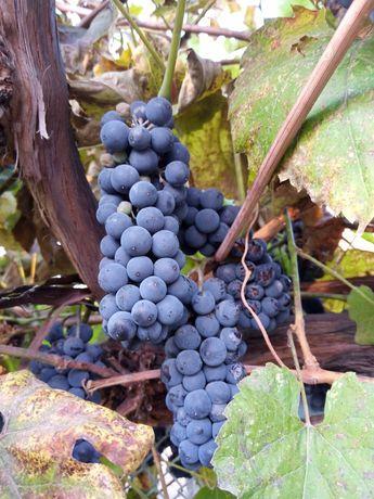 Виноград синий винный