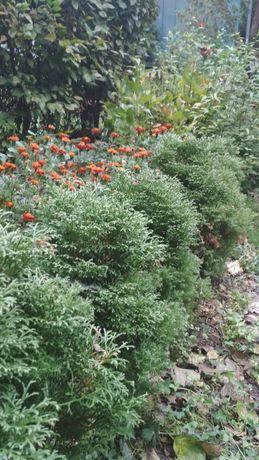 Декоративні рослини (туї, самшит, барбарис, тощо)