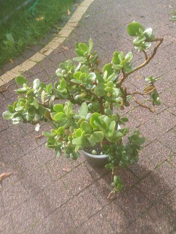 roślina grubosz, drzewko szczęścia, bonzai