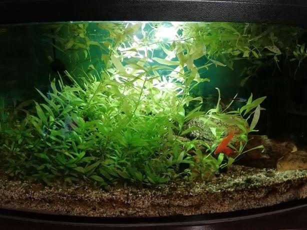 Roślina akwariowe.