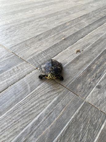 Tartarugas a venda troco por caturra