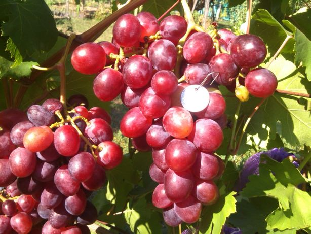 Саженцы винограда.Черенки винограда.