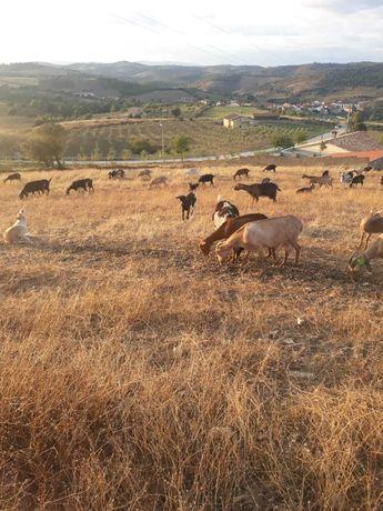 Vendo 20 (separadas ou en lote)  cabras murcianas e floridas