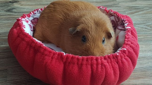 Лежанка для морской свинки