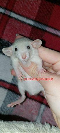 Крысята Дамбо, самцы Киев