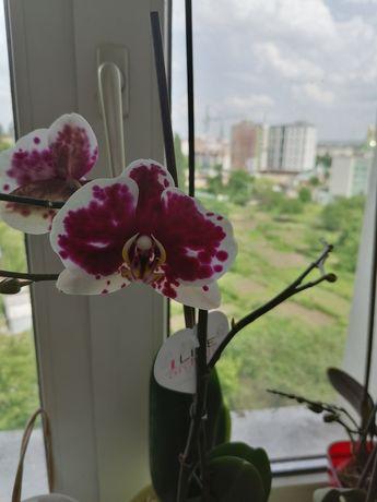 Орхидея орхідея пятнистая