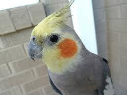 Сірий папугай Корела