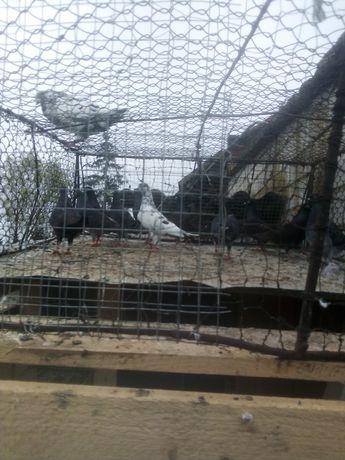 Gołębie pocztowe 25 sztuk