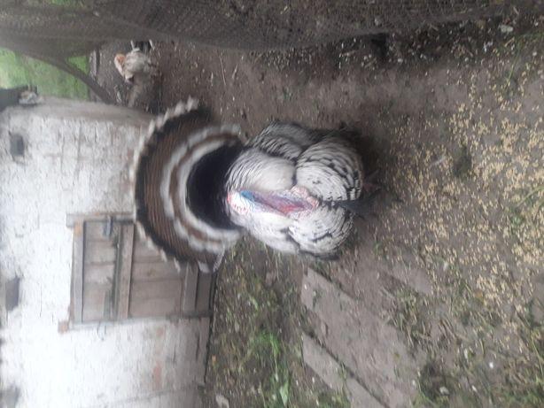 Индюки породистые Нарраганссет (индюшата, яйцо)